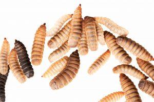 Larvae close up